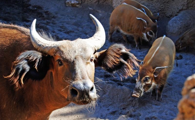BIOPARC Valencia - Bosque Ecuatorial - Bufalo Rojo Potamoqueros - Animales