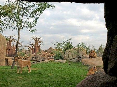 Bioparc Valencia - leones de Angola