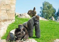 Ali y Mambie los padres del primer gorila nacido en Valencia - Noviembre 2012 - Bioparc Valencia