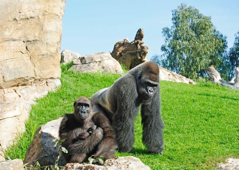 Bioparc valencia celebra el nacimiento del primer gorila con la promoci n hay cosas que s lo - Bioparc precios valencia ...