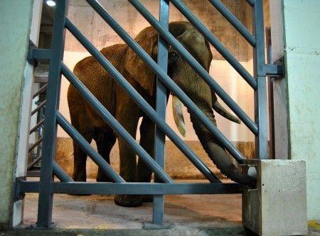 El elefante Pambo - instalaciones interiores de Bioparc Valencia - 28-11-12