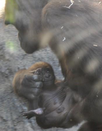 El bebé gorila - foto de José Vicente Martí Pruñonosa - Bioparc Valencia 2012
