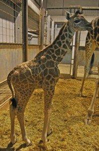 La cría de jirafa recién nacida en el cobijo - BIOPARC VALENCIA - 2012