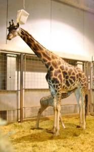 Bioparc Valencia - la jirafa Zora con su cría recién nacida - 30-11-12