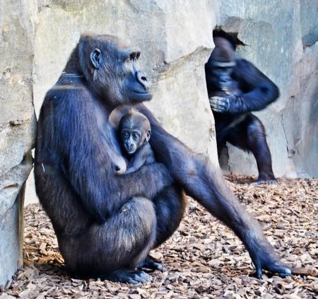 f352c9c9c71e El gorila macho que nació en Bioparc Valencia hace 12 semanas se ...