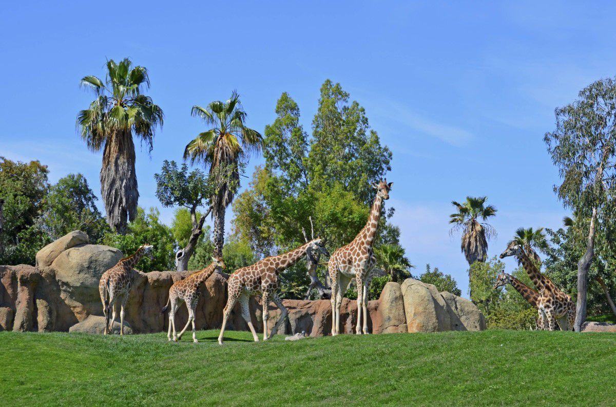Triana y sagira las dos peque as jirafas criadas con - Telefono bioparc valencia ...