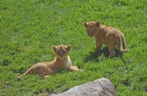 Los cachorros de león Kianga y Shango - BIOPARC Valencia