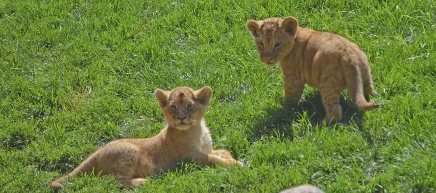 Dos cachorros de león empiezan a reconocer la sabana de BIOPARC Valencia