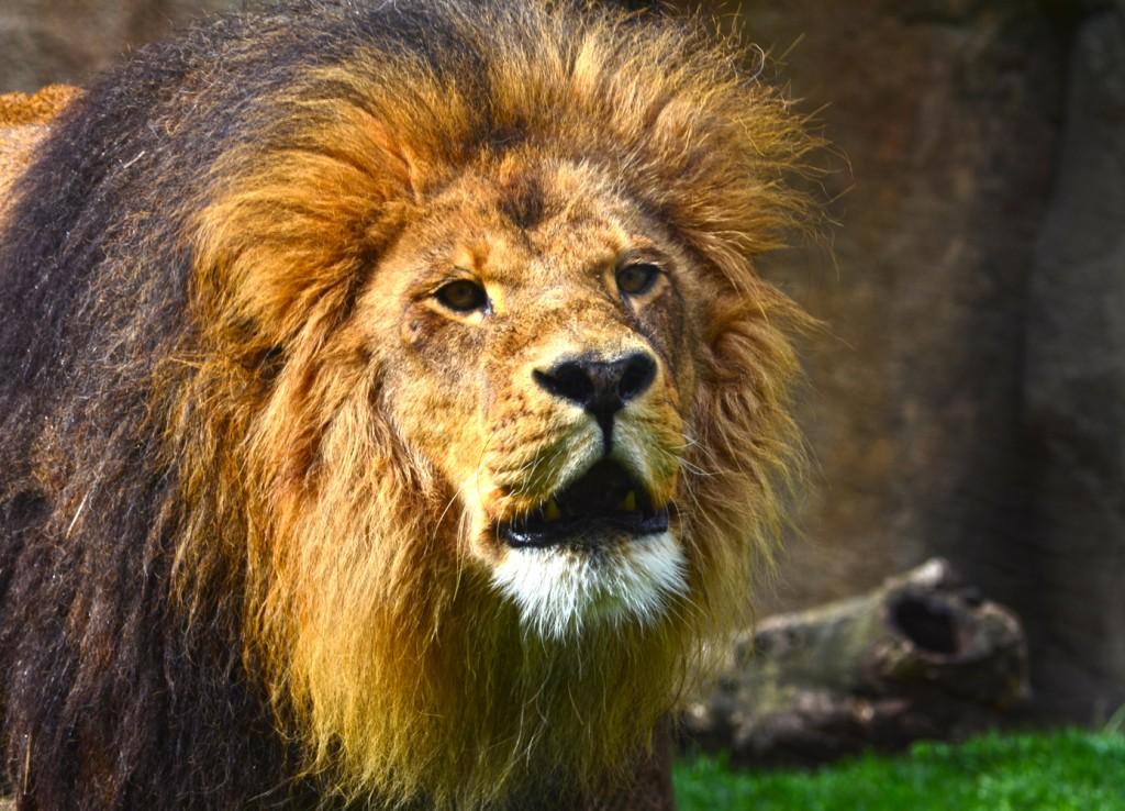 El león Keops en BIOPARC Valencia