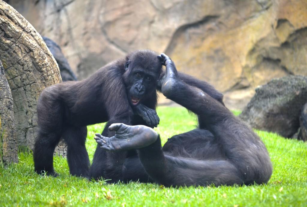 El pequeño gorila Ebo jugando con una de las hembras - verano en BIOPARC Valencia 2015