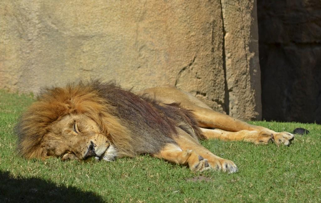 La siesta del león Keops - BIOPARC Valencia