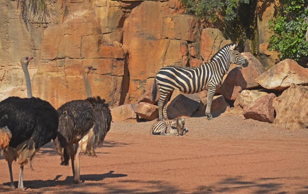 Cría de cebra recién nacida en la Sabana de BIOPARC - avestruces