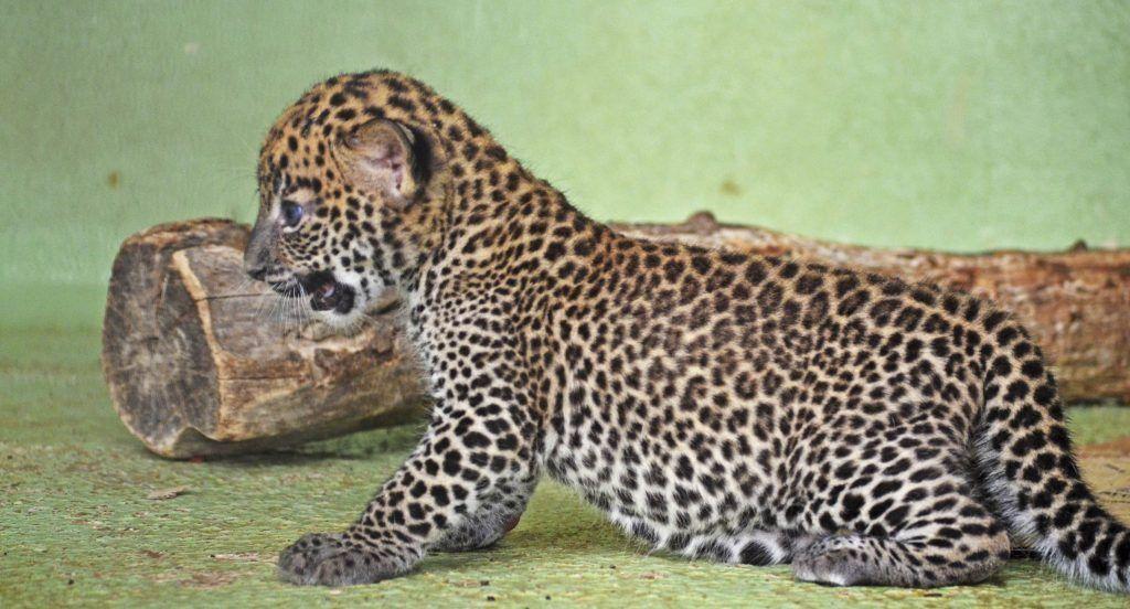 Magnífico Leopardo Del Uña Diseña Las Fotografías Molde - Ideas Para ...