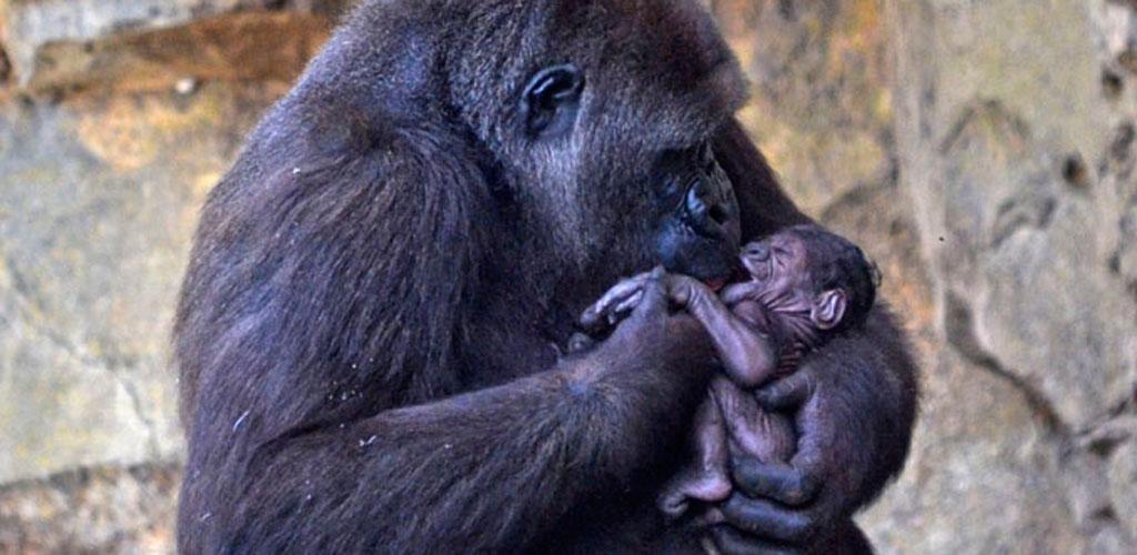 2b90c4cc7a2e Nace un gorila a la vista del público en BIOPARC Valencia