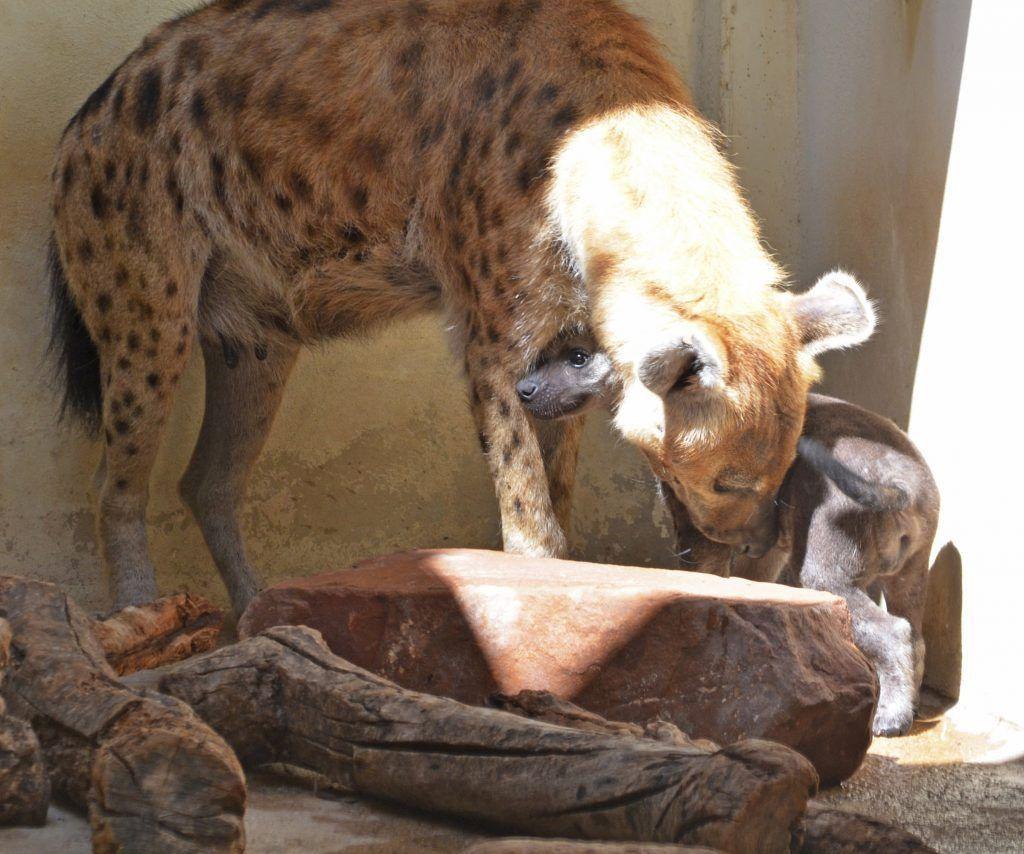 cachorro-de-hiena-con-14-semanas-de-vida-junto-a-su-madre-cobijo-interior-de-bioparc-valencia