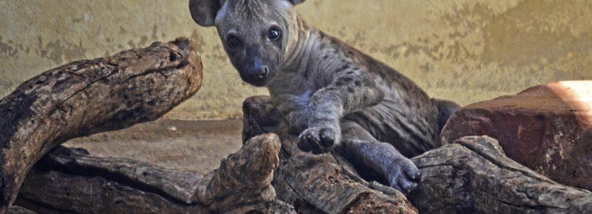 El nombre de la pequeña hiena nacida en BIOPARC se decidirá por votación popular
