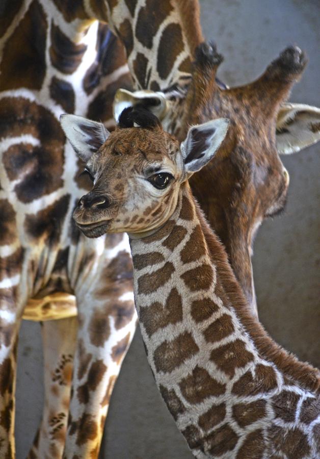 Nace una jirafa Baringo en BIOPARC Valencia, una subespecie en grave peligro de extinción