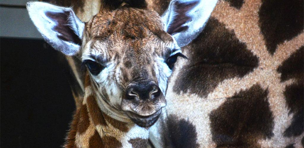 Nace una jirafa en BIOPARC Valencia de una subespecie en grave peligro de extinción