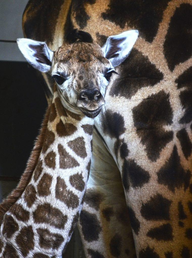 cría de jirafa baringo recién nacida en BIOPARC Valencia
