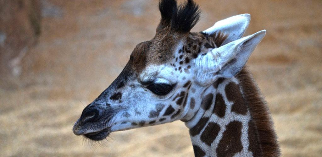 El nombre de la pequeña jirafa de Rothschild de BIOPARC Valencia será elegido por votación popular
