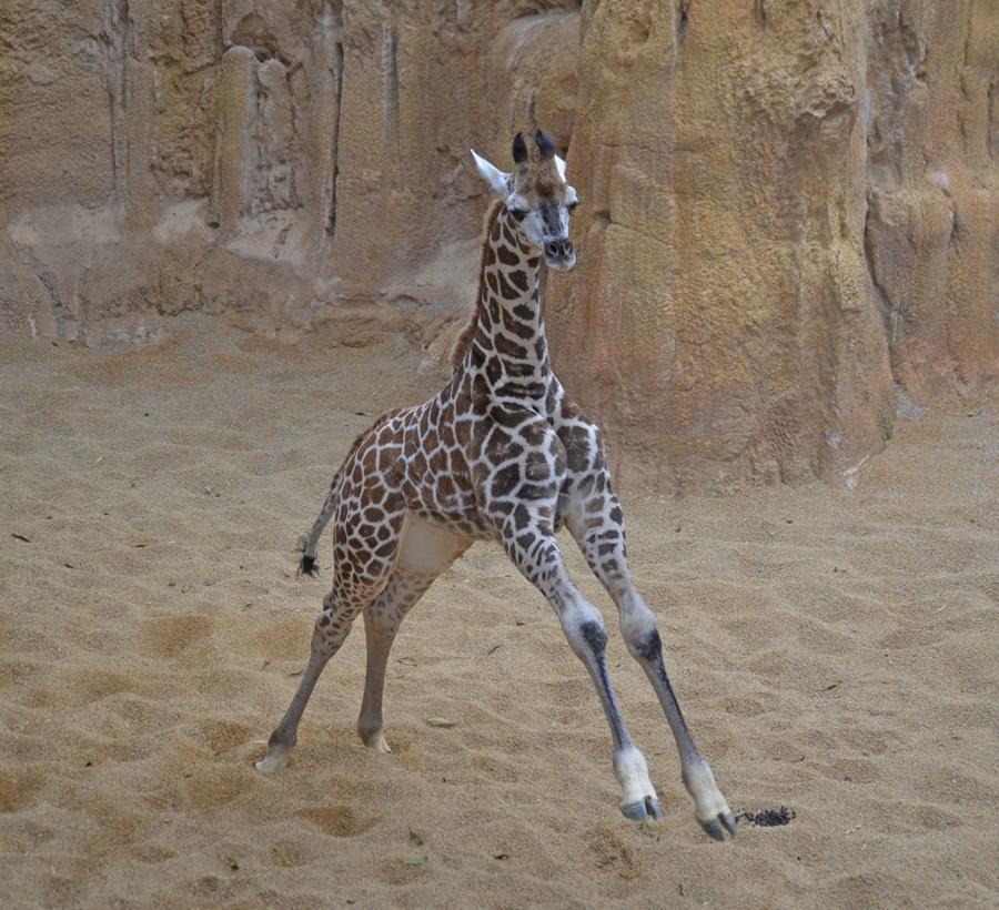 BIOPARC ha querido compartir con los amantes de los animales la elección del nombre de la cría de una de las subespecies de jirafa más amenazadas del planeta: jirafa de Rothschild