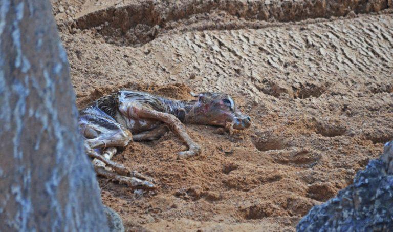 Nace una gacela Dama o gacela Mhorr en BIOPARC Valencia