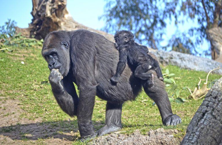La bebé gorila Virunga sobre su madre Nalani - BIOPARC Valencia celebra 9 años de amor por la naturaleza