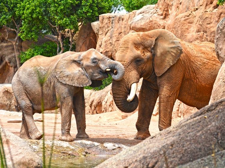 Elefante africano - BIOPARC Valencia