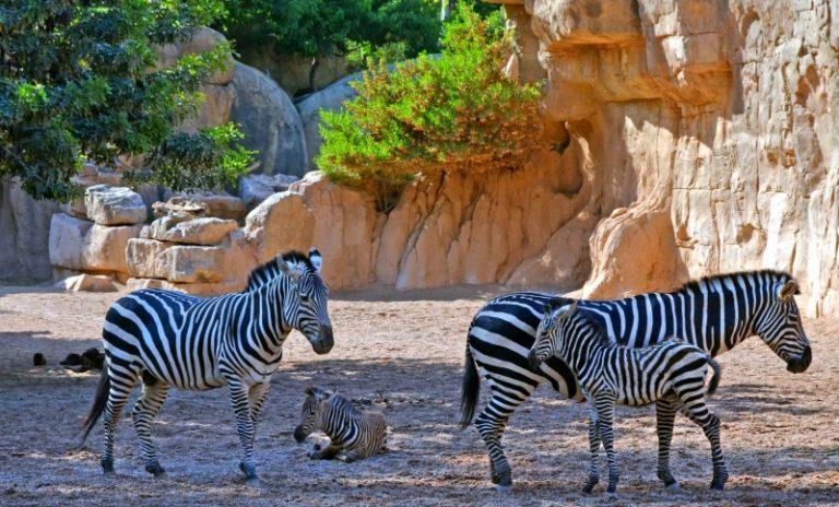 Cebras de Grant con sus crías en BIOPARC