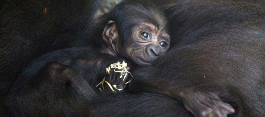 Ha nacido en BIOPARC el tercer bebé gorila valenciano