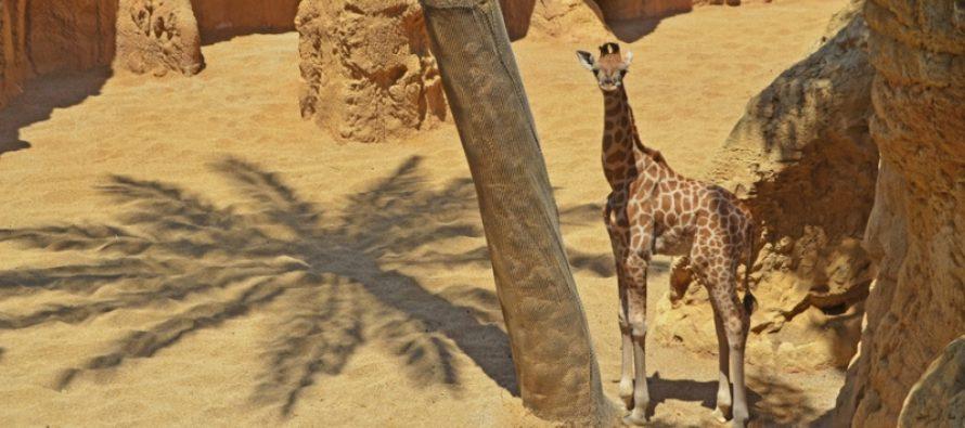 La bebé jirafa de BIOPARC Valencia ya está a la vista del público