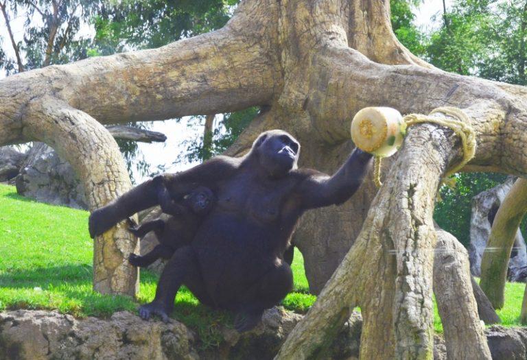 Gorila con su cría en BIOPARC Valencia