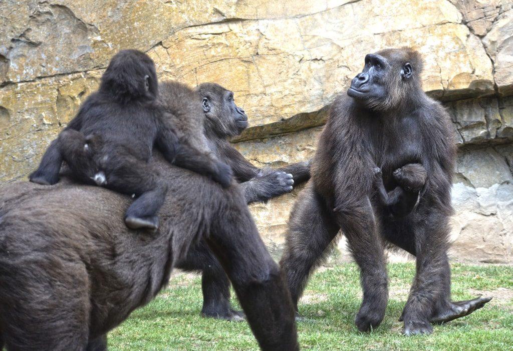 Familia de gorilas en el bosque ecuatorial de BIOPARC Valencia