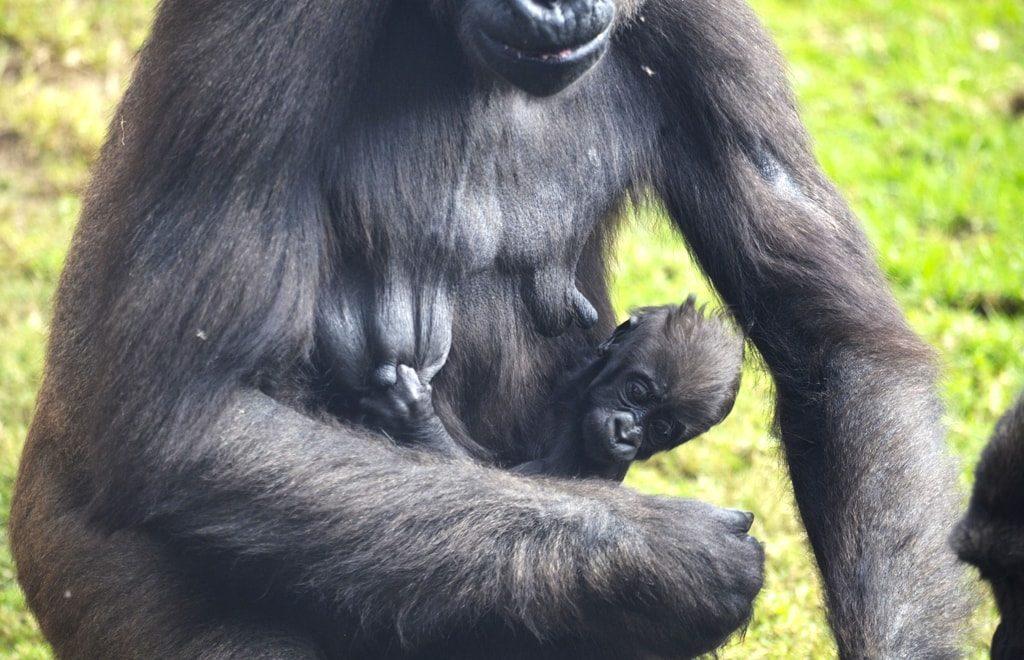 La bebé gorila MBELI aferrada a su madre - BIOPARC Valencia