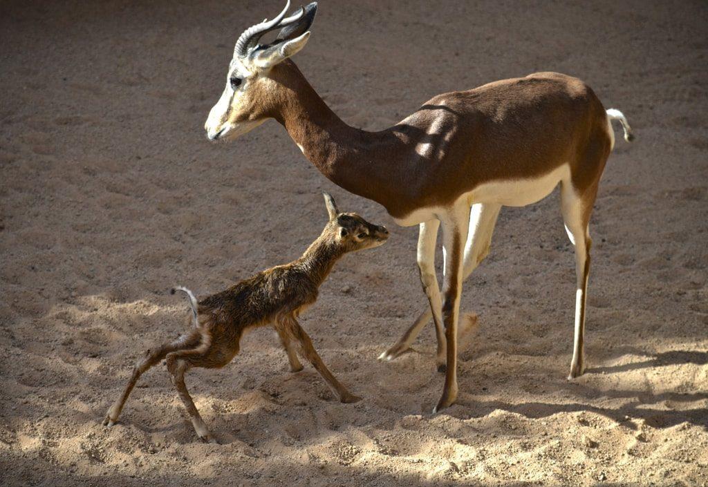 Nace a la vista del público una gacela extinta en la naturaleza la semana que BIOPARC celebra el Día de la Ciencia