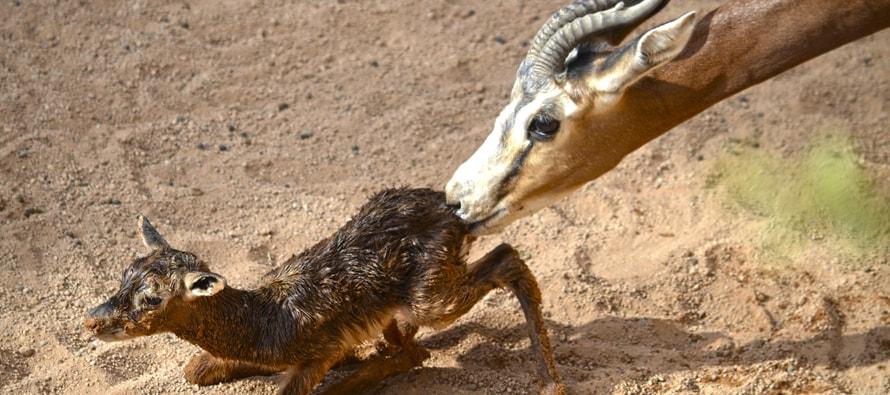 BIOPARC recibe un nuevo nacimiento de gacela Mhorr la semana de la ciencia
