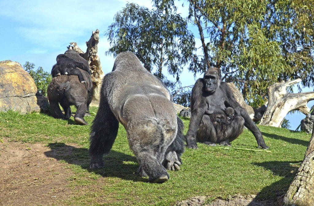 Familia de gorilas en BIOPARC Valencia - Conservación de la naturaleza más amenazada