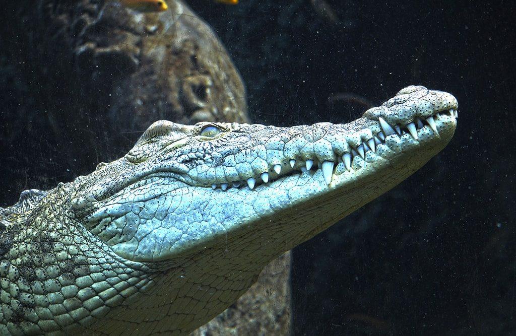 Ola de frío - cocodrilo en el agua calefactada