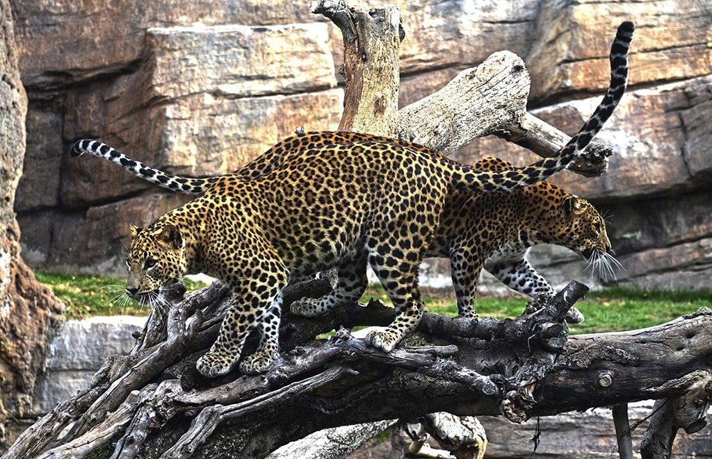 Leopardos en BIOPARC Valencia