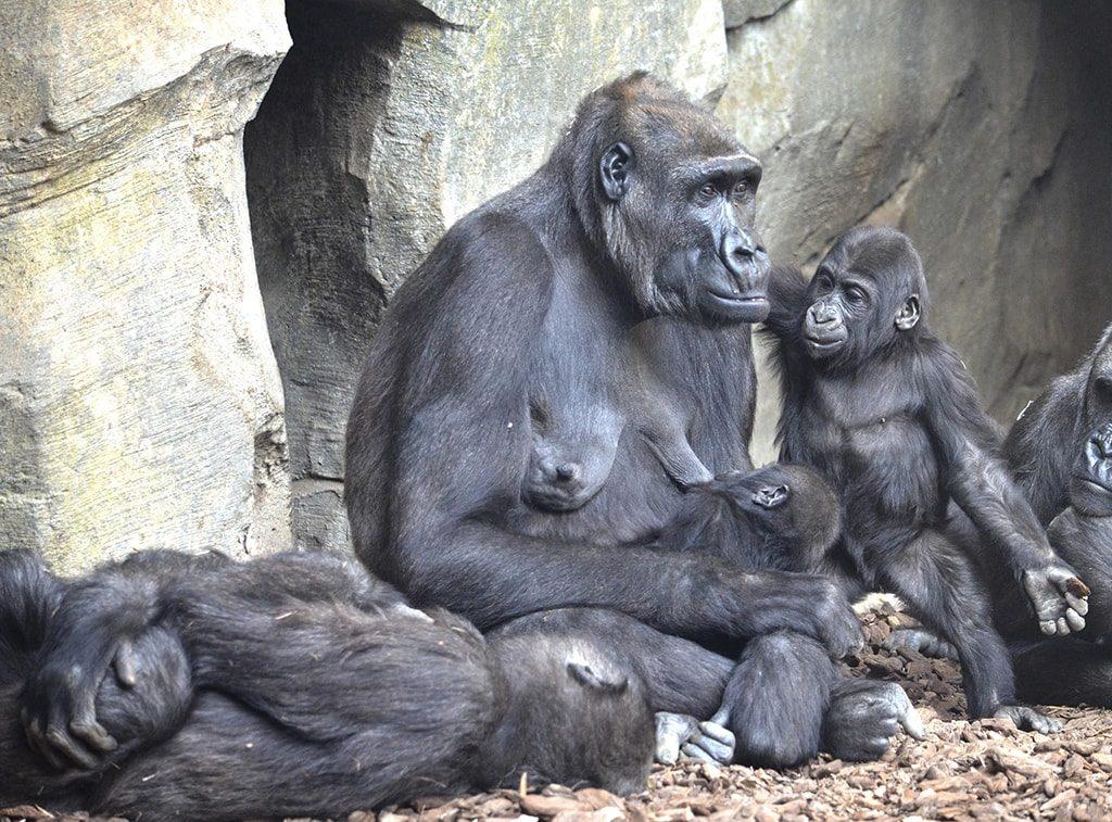 familia de gorilas BIOPARC Valencia