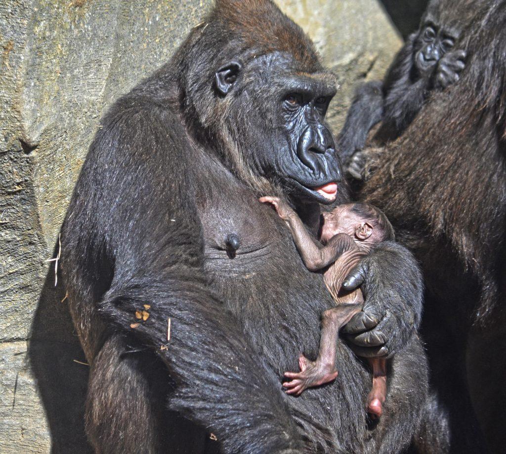 El cuarto bebé gorila valenciano nacido en BIOPARC es macho y se llama Pepe