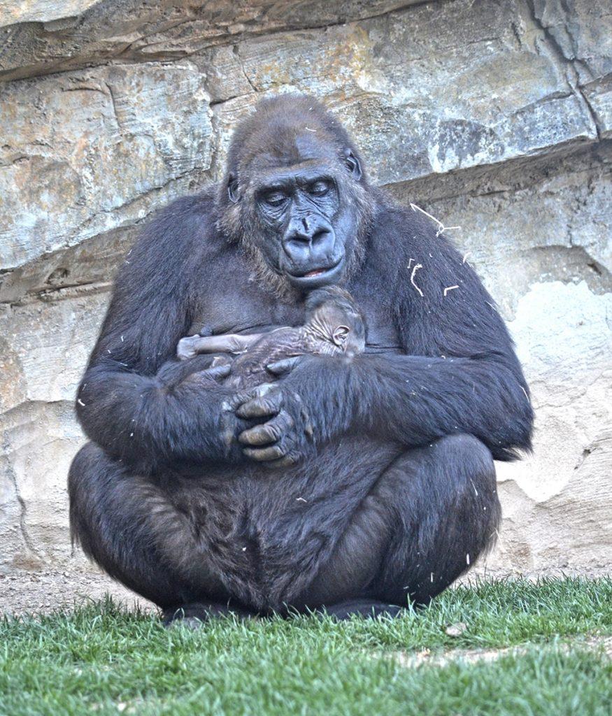 La hembra de gorila Fossey observando a su cría recién nacida - 8 de marzo
