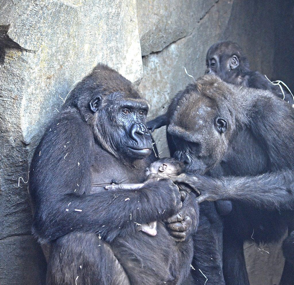Nueva cría en la familia de gorilas de BIOPARC Valencia