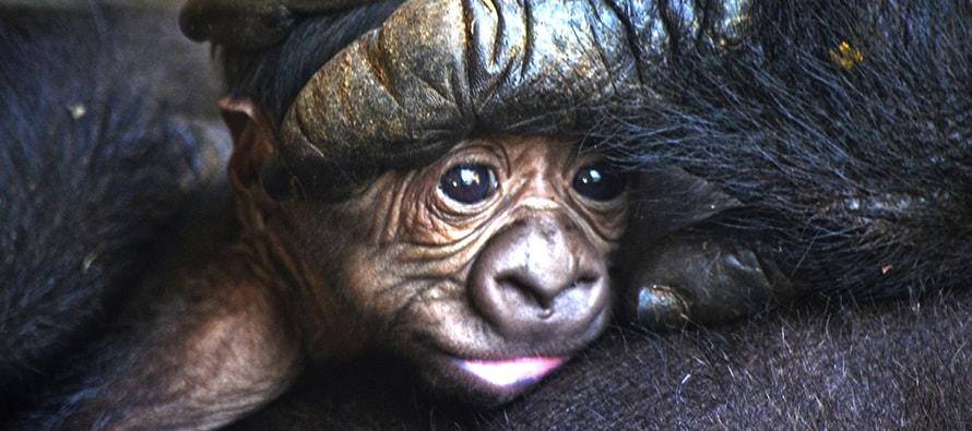 1189afcb3e53 El cuarto bebé gorila valenciano nacido en BIOPARC es macho y se llama Pepe