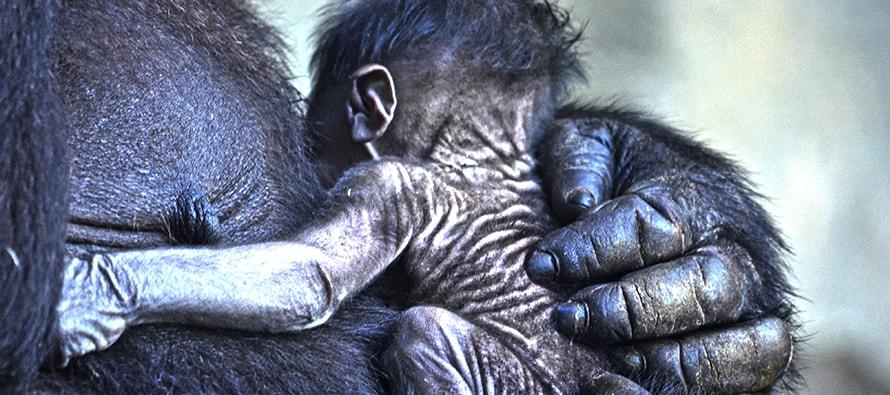 8 de marzo, nace el cuarto gorila en BIOPARC Valencia