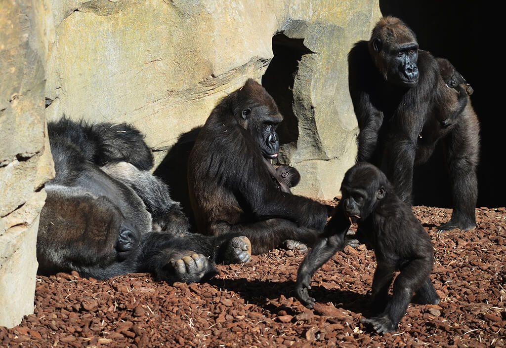 Familia de gorilas - primavera 2018 BIOPARC Valencia