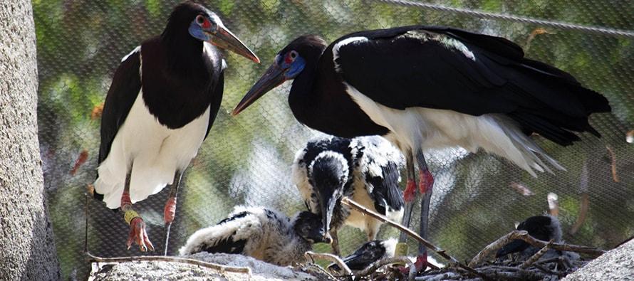 • La familia de cigüeñas de Abdim se incrementa con la llegada de 5 polluelos.