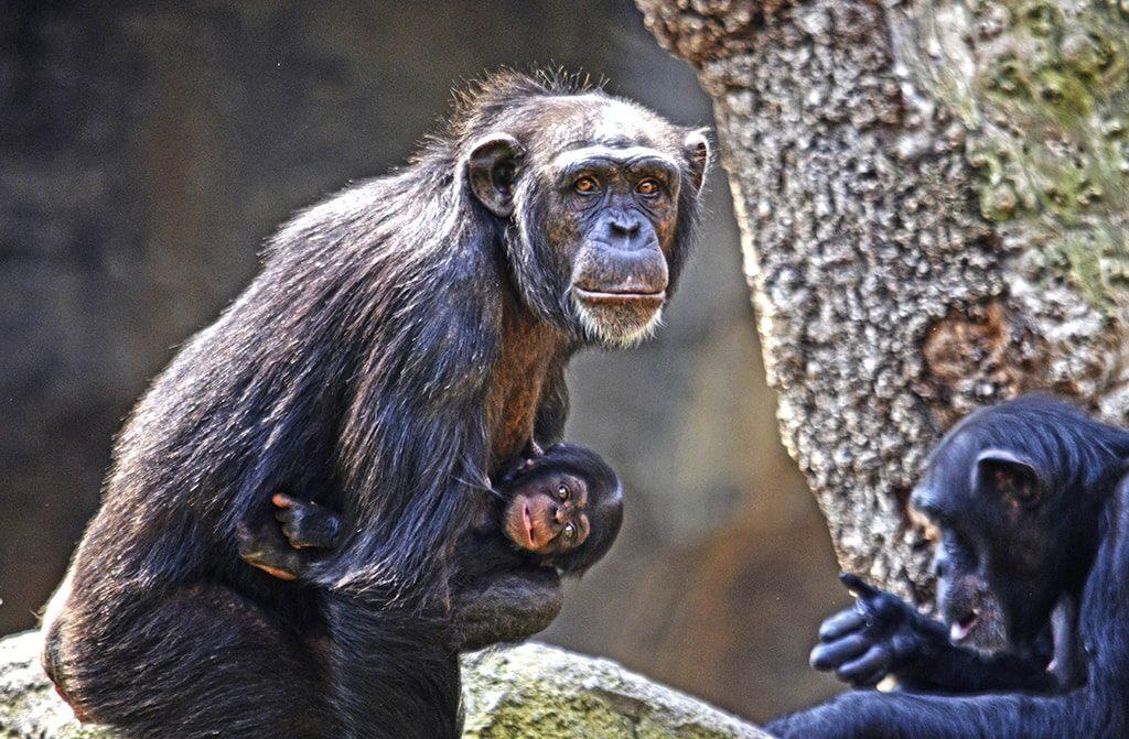Chimpancés en BIOPARC - Noelia y su bebé COCO