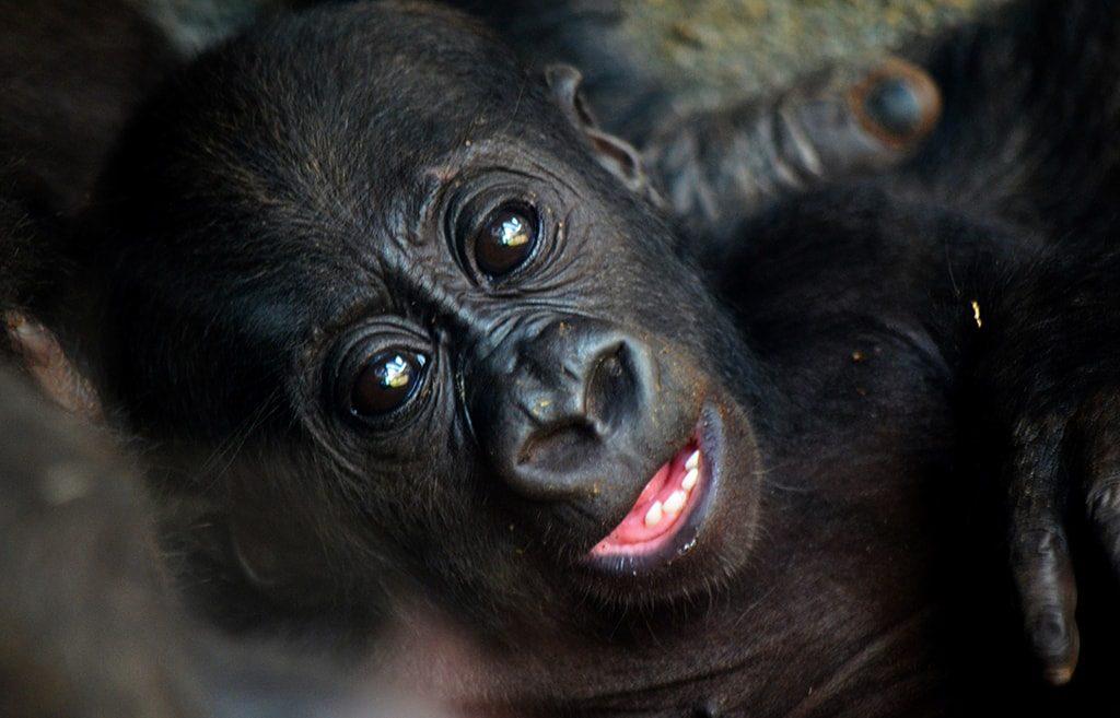 El bebé gorila Pepe - BIOPARC Valencia 2018