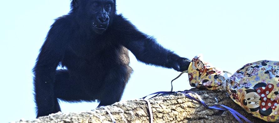 Virunga, la pequeña gorila de BIOPARC Valencia celebra su 2º cumpleaños